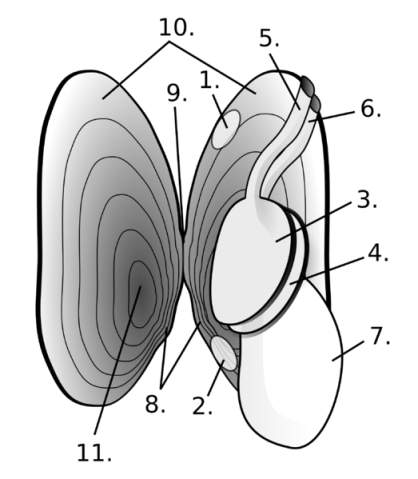 Anatomy of Margaritifera Margaritifera