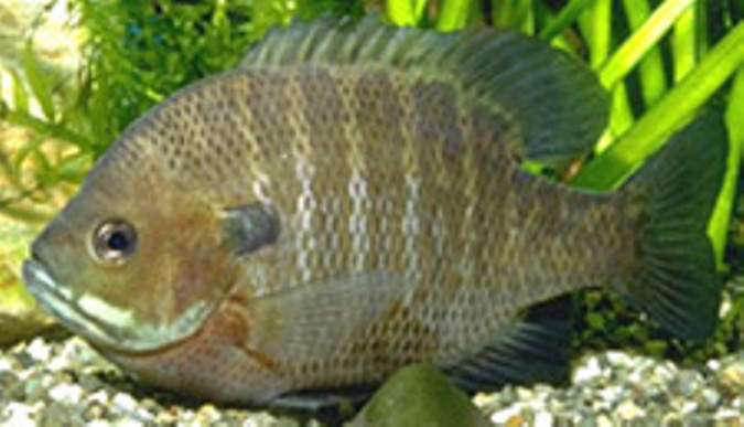 Blue Gill - Lepomis macrochirus, an exotic species introduced into Lake Biwa, that multiplied rapidly threatening the existence of many endemic fish species