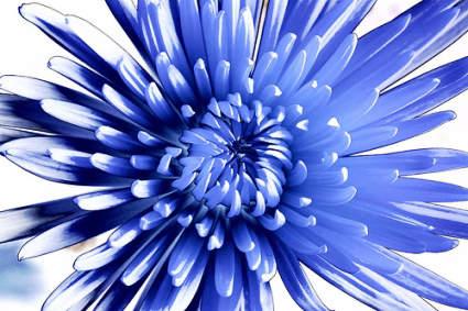 Chrysanthemum inflorescence