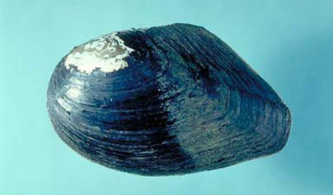 Hyriopsis schlegeli - Biwa Pearl Mussel