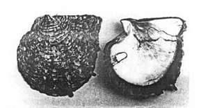 pinctada-margaritifera-black-lip-oyster
