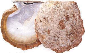 pinctada-maxima-silver-lipped-pearl