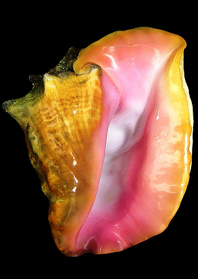 Queen conch- Strombus gigas
