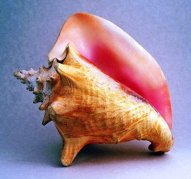 Adult Queen Conch Shell, Strombus Gigas